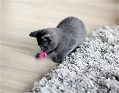IMG_2532 (murkla_la) Tags: cat russianblue moussie gray graycat