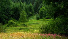 Blooming Willowherb (Hejma (+/- 4500 faves and 1,5milion views)) Tags: bieszczady national park polish landscape tree forest meadows wildflowers grazing hills