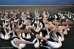 Pelicans at The Entrance, NSW, Australia (renatonovi1) Tags: pelican bird lake theentrance centalcoast nsw australia water