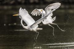 Egret Ballet (Bruce Wunderlich) Tags: red egret ballet flying muskingum river marietta ohio nikon d750 bruce wunderlich dps