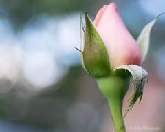 (Fay2603) Tags: outdoor blume flower blossom blte pflanze plant bud knospe rose schrfentiefe rosa rose green light hellgrn delicate zart sanft hintergrund pastell fruchtknoten kelchbltter blatt leave licht schatten shadow fuji xt1