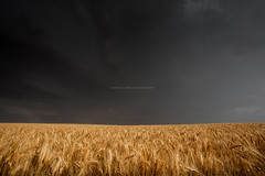 Storm over wheat fields, Australia (Robert Lang Photography) Tags: storm weather clouds rain dark moody farming agriculture agribusiness farm ranch colour color wheat cereal crop harvest food foodproduction foodsupply gold golden copyspace negativespace eyrepeninsula southaustralia australia robertlangphotography robertlang robertlangportlincoln robertlangaustralia wwwrobertlangcomau coomunga