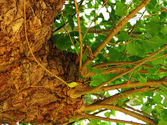 poplar shoots (mark.griffin52) Tags: pollard olympusem5 england hertfordshire draytonbeauchamp nature tree blackpoplar