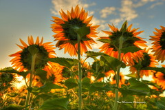 Sunflowers (Tom Mortenson) Tags: sunflowers digital 24105l canon canon6d centralwisconsin usa wisconsin midwest color colorful kronenwetterwisconsin sunrise early morning summer july dawn america northamerica geotagged floral marathoncounty marathoncountywisconsin field country rural bright plants colour
