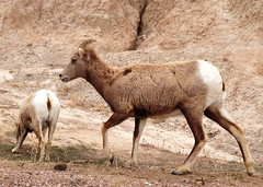 Bighorn Sheep Ewe & Lamb (Ovis canadensis)  Badlands National Park, SD (twiga_swala) Tags: bighorn sheep ewe ovis canadensis badlands national park sd np south dakota southdakota american north wildlife fauna america usa us female