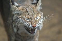 Felino (ruimc77) Tags: nikon d810 nikkor af 300mm f4 ifed zoo zoologico zologico chapultepec cuidad mxico mexico city df distrito federal cdmx felino feline cat gato animal life vida