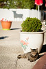 (anto291) Tags: camargue lessaintesmariesdelamer hotelclamador gatto chat
