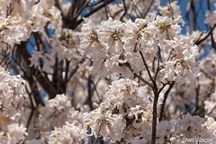 Flor de lapacho (tajy) blanco (brunovalenzano) Tags: 2016 asuncion