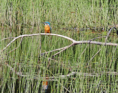 Kingfisher in Tentsmuir forest (eric robb niven) Tags: ericrobbniven scotland kingfisher summerwatch wildbird nature tentsmuir forest