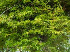 Taxodium distichum 'Gee Wizz', 2016 (F. D. Richards) Tags: usamichigan hiddenlakegardens mi 5174312060 naturewalk tipton msu michiganstateuniversity 6214monroeroad zone5 us50 hlg 49287 michigan unitedstates us
