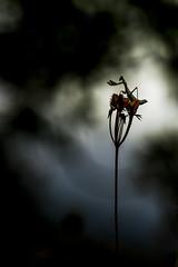 Aprs l'orage. (bertolinijacques) Tags: macro proxy insectes amelesdcolor mante composition contrejour france cvennes ardche