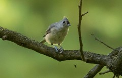 7K8A8791 (rpealit) Tags: scenery wildife nature east hatchery hackettstown alumni field tufted titmouse bird