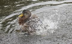 Mallard (themadbirdlady) Tags: mallard anatidae anseriformes anasplatyrhynchos airthreyns8096 stirlinguniversity feathers bath water bird duck
