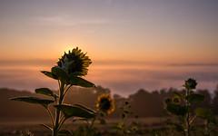 welcome sun-day! (Florian Grundstein) Tags: flowers sunflowers blossom mountain high above beautifullight morningsun daybreak nikon fx d610 nikkor 24120 f4 upperpalatinate bavaria grundstein florian sonnenaufgang berg wolken sonne himmel sonnenblume tagesanbruch licht oberpfalz bayern heimat teublitz outdoor