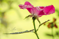 Jewels for the rose (kt) Tags: roses nature bokeh waterdrops macro extensiontube flower