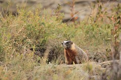 IMG_1126 (TMM Cotter) Tags: headsmashedin buffalo jump world heritage site fort macleod alberta ab yellowbellied marmot marmota flaviventris