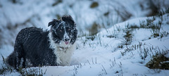 A Happy Border Collie! (JJFET) Tags: dog snow dogs face fun collie border covered