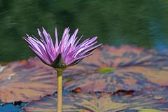 Blooming Water Lily (Matt Thalman - Valley Man Photography) Tags: flower water garden colorado waterlily lily purple denver lilypads denverbotanicgardens