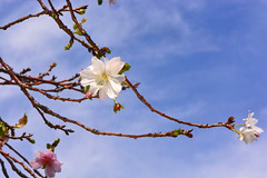 Rosebud cherry 'Autumnalis' & Blue Sky (qooh88) Tags: autumn tree  deciduous prunus palepink cerasus  rosaceae smalltree     cultivar       cerasussubhirtellaautumnalis   cerasussubhirtellajgatsuzakura prunussubhirtellamiqvarautumnalis