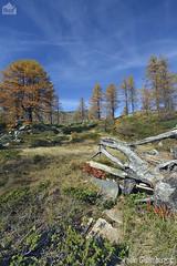 Paesaggio alpino, mountain landscape (paolo.gislimberti) Tags: autumn trees alberi autunno larches conifers mountainlandscape conifere autumnalcolors larici ceresolereale coloriautunnali paesaggiodimontagna alpineenvironment alpinegrassland prateriaalpina ambientealpino