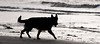Tempted (Trevor Watts Photography) Tags: uk england blackandwhite bw dog beach water coast nikon january somerset charlie gb burnham burnhamonsea gsd germanshepherddog d300s larnmax