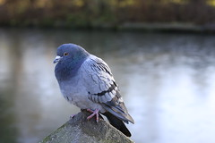 Pigeon (50/52) (Stu.G) Tags: road uk england abbey canon project eos 50mm december unitedkingdom pigeon f14 united kingdom usm 13th coombe ef 52 2014 canonef50mmf14usm canon50mmf14 cv3 coombeabbey brinklow ef50mm ef50mm14 40d project52 canoneos40d december2014 13dec14 project522014 coombeabbeycoventrywarwickshirebrinklow 13thdecember2014