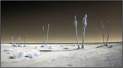 Dead Shoreline Trees (NoJuan) Tags: california abandoned empty neglected olympus infrared desolate saltonsea californiadesert ep2 digitalinfrared saltoncity infraredconversion micro43 microfourthirds olympusep2 9mmfisheyebodycaplens 9mmbcl micro43infrared