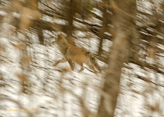 Coyote_running_Fort_Snelling_State_Park_112514 (MJs Originals) Tags: coyote