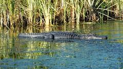 American Alligator (Jim Mullh