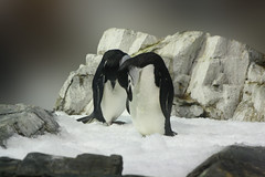 Hm, do you really think, there's oil down there?? (Hedi-Alana) Tags: snow nature birds animal animals penguin penguins natures