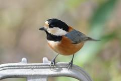Parus varius (myu-myu) Tags: bird nature japan nikon explore mygarden  d800 parusvarius wildbird   aiafsnikkor300mmf4difed