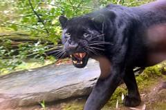Arka (jenny' pix) Tags: black animals zoo leopard animaux carnivores noire panthère panthera pardus félidés
