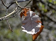 Dry leaf (kimrodon1) Tags: hoja feuille fulles