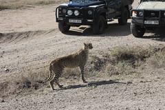 Cheetah Calls His Brother