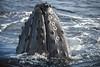 meet vicki | maui, hawaii (elmofoto) Tags: nature female mammal hawaii nikon wildlife maui explore whale migration whalewatch lahaina encounter lanai d800 balene molokai humback 70200mm fav100 fav200 fav300 explored 50000v pacificwhalefoundation fav500 fav1000 nikond800 fav400 fav1500 fav600 fav700 fav800 fav900 fav1100 fav1200 fav1300 fav1400 lahainaroads elmofoto lorenzomontezemolo northernhumback