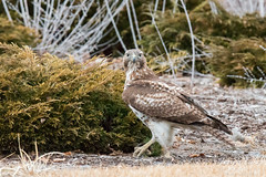 The hawk checks around after pulling the mouse from the bush