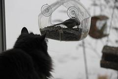 228/365/2419 (January 25, 2015) - Wanda Watching Black-capped Chickadees on Cat TV (Saline, Michigan) (cseeman) Tags: cats pets birds wanda backyard michigan feeder chickadee saline cattv project365 windowfeeder blackcappedchickadees yearsevenproject365coreys 2015project365coreys chickadee01252015 cattv01252015 p365cs012015