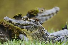 caïman (guiraud_serge) Tags: southamerica animal brasil reptile crocodile pantanal jabiru brésil faune jacare amériquedusud caïman sergeguiraud jabiruprod