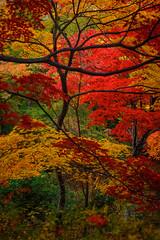 Jikishi-an/直指庵 (Photo_nori) Tags: autumn tree fall leaves japan garden landscape temple kyoto 日本 紅葉 京都市 京都府 jikishian 直指庵