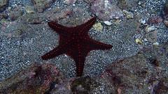 Galapagos - Bartolom - Fvrier 2015 (12) (Valerie Hukalo) Tags: ecuador starfish galapagos snorkeling pacificocean equateur faune underwaterphotography bartolom toiledemer ocanpacifique photosousmarine faunesauvage hukalo valriehukalo photoaquatique