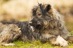 Dog catched mouse (bo foto) Tags: dogs catch boudewijn olthof dogmousephotography