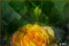 PETALES ET COULEURS, CREATION (Gilles Poyet photographies) Tags: fleurs vitrail soe autofocus cration aplusphoto artofimages rememberthatmomentlevel1