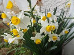 Narcissus DSC01526 (omirou56) Tags: flowers white green yellow hellas greece narcissus ελλαδα λουλουδια ασπρο κιτρινο χρωματα πρασινο sonydschx9v ναρκισσοσ μανουσακι