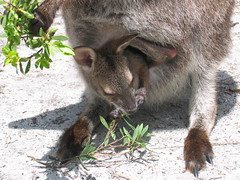 Joey Eating from the Pouch