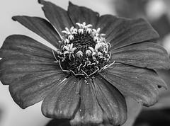 flor (luis.modena) Tags: flor pb vermelha pretoebranco florvermelha ilhadeabraao luismodena