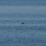 Red-necked Grebe thumbnail