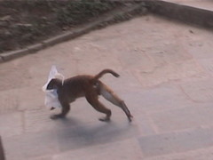 Rhesus Macaque Running Plastic Bag