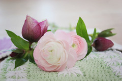 ranunculus with helleborus (Teresa Micheile Henderson) Tags: pink flowers floral garden ranunculus romantic blooms bloemen helleborus