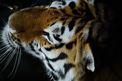 "Tg Nbg         ""Haupt-ansicht""            160629 (Eddy L.) Tags: tiergartennrnberg tiergartenfreundenrnbergev nuremberg tiger sibirischertiger samur 2662012 amurtiger ussuritiger siberiantiger tigredesibrie tigresiberiano siberiantijger amurskiytigr bigcat closeup nahaufnahme minoltaafreflex500 sonyphotographing wildfelinephotography wildcatworld"