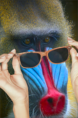 Mandrill Glasses (swong95765) Tags: wild look animal glasses see dangerous eyes hands mandrill